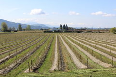 Long rows of Blueberry Plants. Long diagonal rows of blueberry plants in British Columbias Fraser Valley district Royalty Free Stock Photo