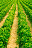 Long rows bright green strawberry plants Stock Photography