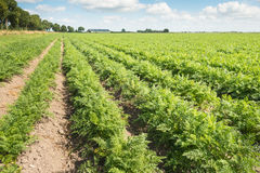 Long rows of carrot plants in the field Stock Images