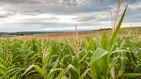 Long rows of corn on rolling fields Royalty Free Stock Photography
