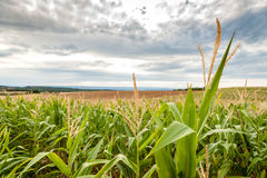 Long rows of corn on rolling fields Stock Images