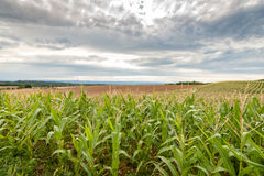 Long rows of corn on rolling fields Royalty Free Stock Photo