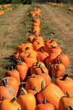 Long rows of large,colorful pumpkins in field Stock Image