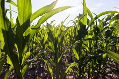 Long Rows Of Low Young Corn Stock Photo