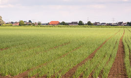 Long rows of onions plants Royalty Free Stock Photos