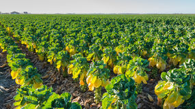 Long rows of plants with growing Brussels sprouts Royalty Free Stock Image