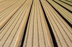 Long rows of plants growing in the field Royalty Free Stock Image