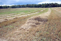 Long rows of sloped hay on rural field. Rural landscape with many long rows of sloped dry hay, receding into the distance after harvest on field on a summer day Stock Photography