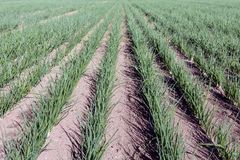 Long rows with small onion plants Stock Photography