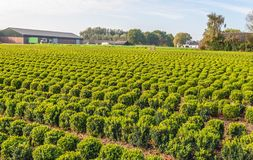 Long rows of spherical boxwood shrubs at a specialized Dutch nursery. In the province of Noord-Brabant. It is now autumn but the box shrubs always remain green stock photos
