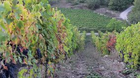 Long rows of vines with mature lush bunches of grapes stock video