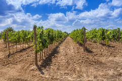 Long rows of a vineyard in Tuscany, Italy. Sunny bright summer day, blue sky with white clouds stock images