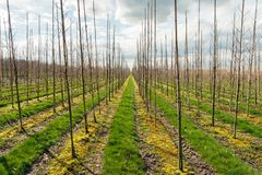 Long rows of young trees in a large tree nursery. Backlight photo of long rows of young trees supported by bamboo sticks in a large tree nursery in the Stock Photography