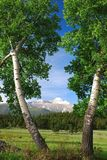 Long's Peak, Rocky Mountians. 14,000 foot high Long's Peak is seen through twin aspen trees, captured in Rocky Mountain National Park in Colorado Stock Images