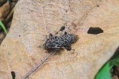 Long scarabée de klaxon sur la feuille sèche Image libre de droits