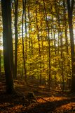 Long Shadows in Autumn Forest Royalty Free Stock Photo