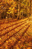 Long shadows of trees on fallen autumn leaves in a forest. Royalty Free Stock Photography
