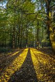 Long shadows of the trees going deep into the forest in portrait royalty free stock photo