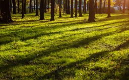 Long shadows of trees on green grass in autumn time royalty free stock image