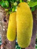 Long-shape jack fruits hanging on the tree Royalty Free Stock Photo