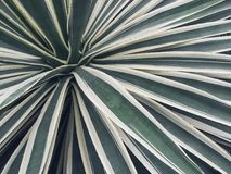 Long, sharp, thorny leaves of a cactus plant royalty free stock image