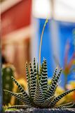 Long, sharp, thorny leaves of a cactus plant on a multicolored g. Long, sharp, thorny leaves of a cactus plant on a multi-colored green background on a bright stock photos