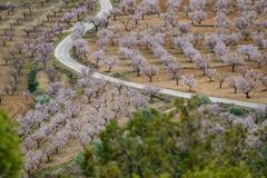 Long shot of almond trees in blossom at both sides of the road stock photography
