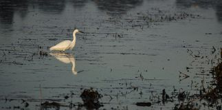 White egret reflected over black polluted water royalty free stock photography