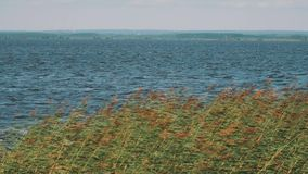 Long shot of reeds swinging in strong wind in front of water of the lake stock video footage