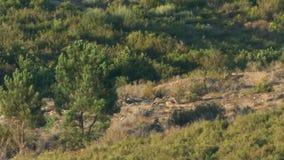 Wild wolfs cubs playing at long distance. Long shot of small wild wolf cubs playing, long distance with heat waves in Sierra de la Culebra, Zamora, Spain stock footage
