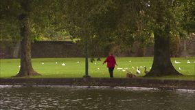 Ducks and swan on a green field of a park. A long shot of swans and ducks as they rest on the green field of a park in Ireland stock video