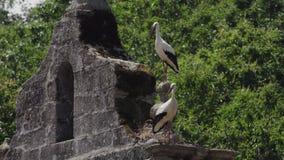 Two storks over belfry start flying at the same time. Long shot of two storks over vintage stone belfry flying at the same time stock video footage
