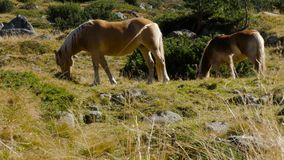 Long shot - Two Wild Horses grass in mountain stock footage
