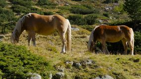 Long shot - Two Wild Horses grass in mountain stock video footage