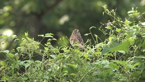 View of Finch Bird in the Bush. A long shot view of a finch bird in a bush stock video footage