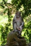 Long singe coupé la queue de Balinese Village de Padangtegal de forêt de singe Ubud bali l'indonésie photographie stock libre de droits