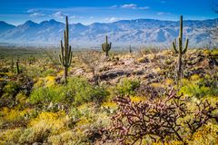 A long slender Saguaro Cactus in Saguaro National Park, Arizona. A large tree like cactus that have branches in it as they age in Saguaro National Park stock photo