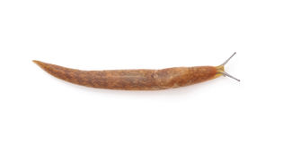 Long snail. Stock Photo