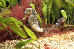 Long-snouted seahorse Stock Image