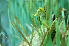 Long-snouted seahorse. The long-snouted seahorse among the sea plants Stock Photos