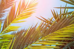 Long Spiky Feathery Palm Tree Leaves in Golden Pink Sunlight Flare Blue Sky. Hipster Toned Poster Banner Template. Tropical Foliag stock photography