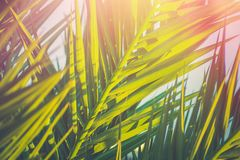 Long Spiky Feathery Palm Tree Leaves in Golden Pink Sunlight Flare. Hipster Toned Poster Banner Template. Tropical Foliage. Background Vacation Tourism Royalty Free Stock Images