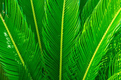 Free Long Spiky Palm Tree Leaves In Beautiful Geometrical Pattern, Botanical, Foliage, Tropical Background Royalty Free Stock Images - 96923699