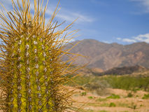 Long Spine Cactus Stock Photography