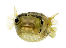 Long-spine porcupinefish also know as spiny balloo Stock Photos