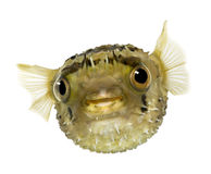 Long-spine porcupinefish also know as spiny balloo Royalty Free Stock Photo