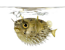 Long-spine porcupinefish also know as spiny balloo stock images