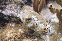 Long-Spine Porcupinefish on Coral Reef stock photography