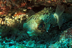 Long-Spine Porcupinefish stock photography