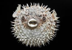 Long-spine porcupinefish - Diodon holocanthus. Stock Photos